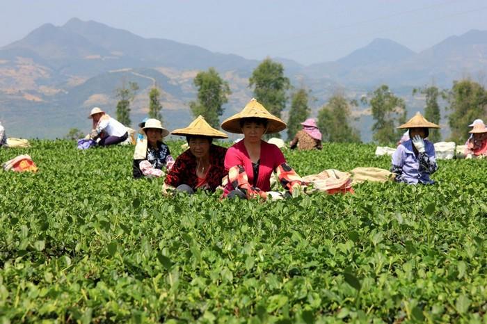 процесс сбора чая