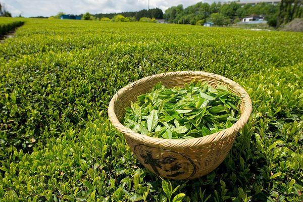 свежесобранный чай