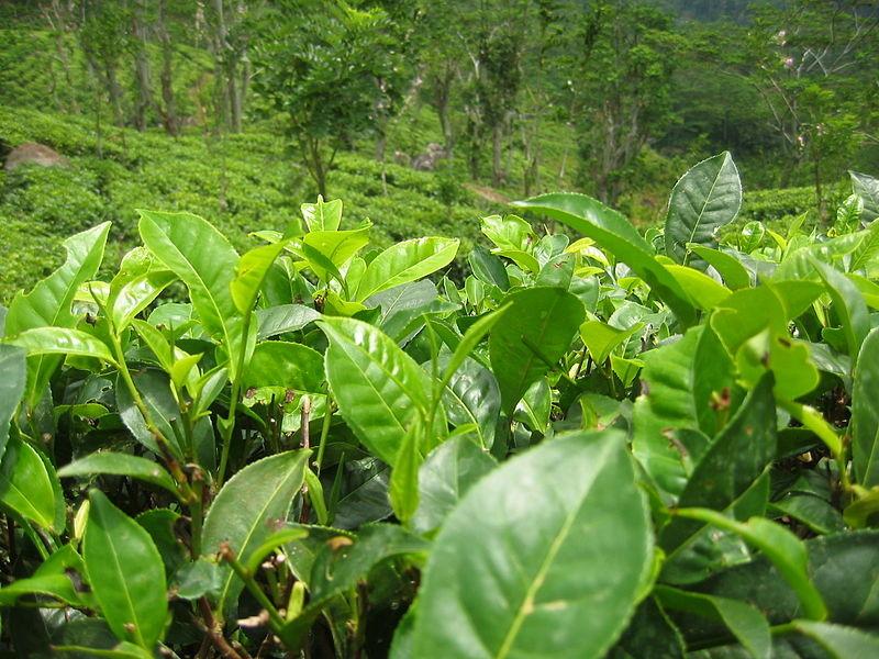 листочки молодого чая