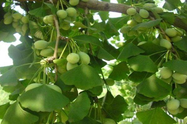 Как заваривать гинкго билоба листья